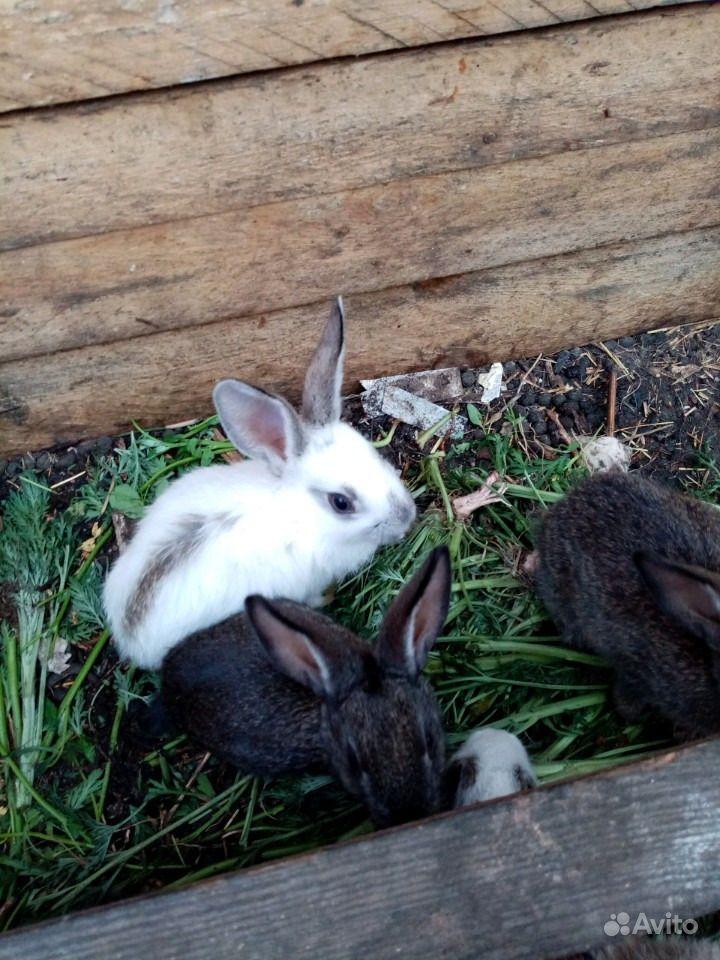 Продам привитых кроликов 1,5 мес