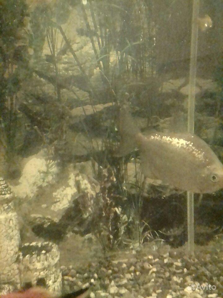 Рыбки купить на Зозу.ру - фотография № 2