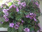 Фиалка цветы комнатные