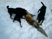 Норные собаки — Собаки в Острогожске