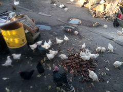 Цыплята месяцные от домашних кур