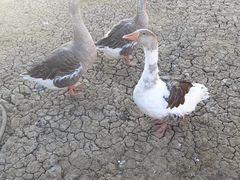 Гуси и петух утки
