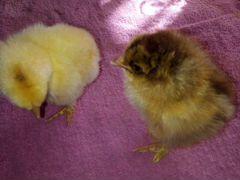 Цыплята брама (куропатчатая), (палевая)