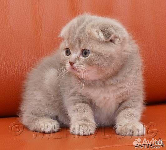 котята шотландские вислоухие плюшевые фото