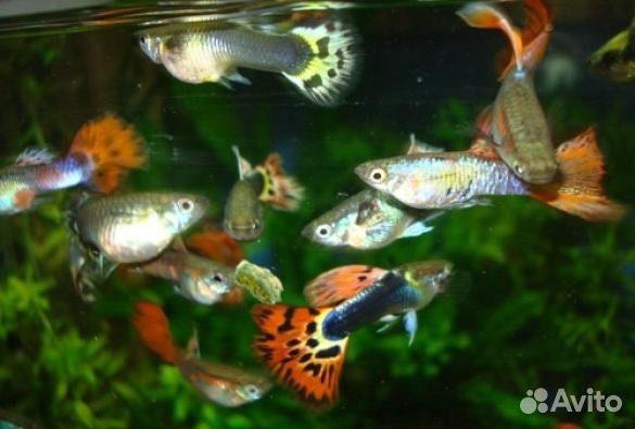 Аквариумные рыбки гуппи цены