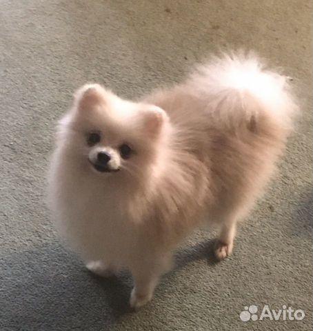 Подрощенный щенок цвергшпица купить на Зозу.ру - фотография № 2