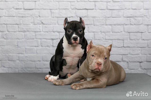 Американские Булли щенки купить на Зозу.ру - фотография № 1