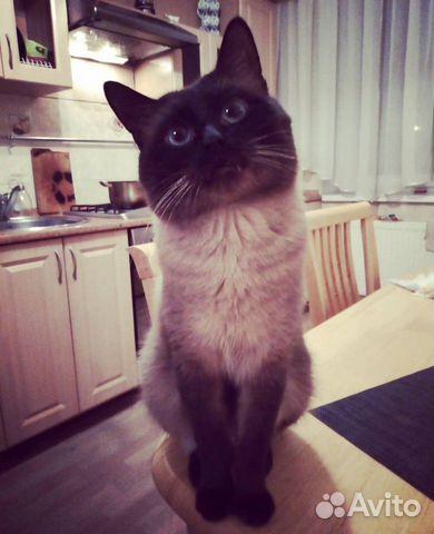 Вязка, Сиамский кот