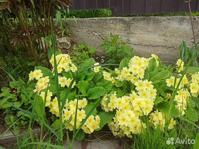 Многолетние цветы примула, почвопокровные, для гор  купить 1