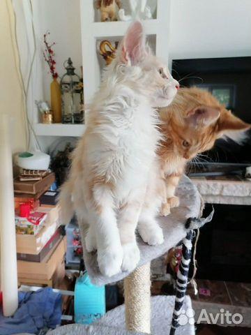 Котята мейн-кун купить 7