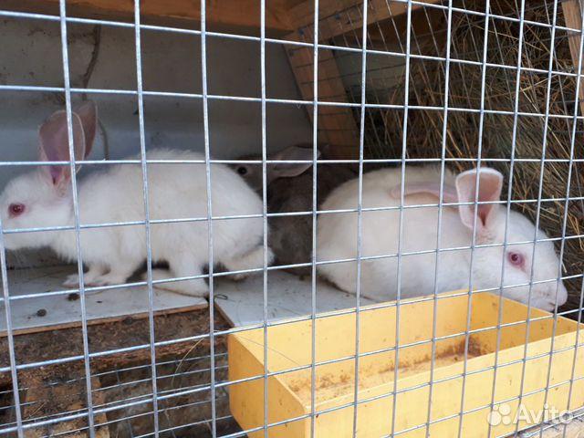 Кролик  89277704326 купить 7