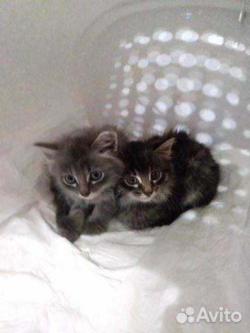 Очаровательные пушистые подружки (кошечки)