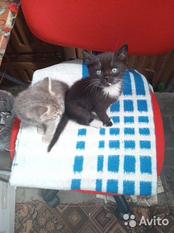 Кошка 89606708188 купить 4