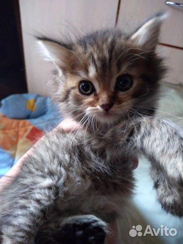 Продажа кошек шотландской породы купить 3