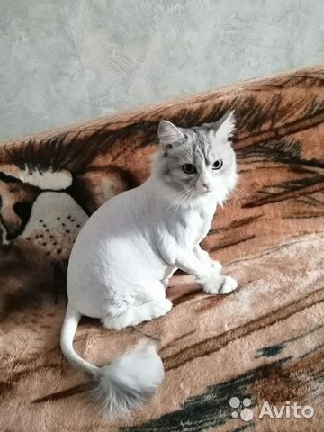 Кошка  89231674847 купить 3