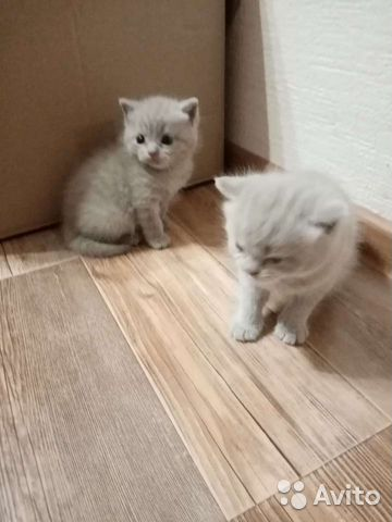 Британские котята  89210680905 купить 2