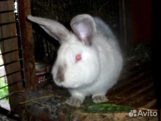 Калифорнийский кролик и Советская шиншилла