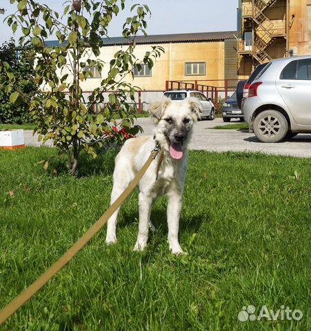 Собака в добрые руки  89133800136 купить 4