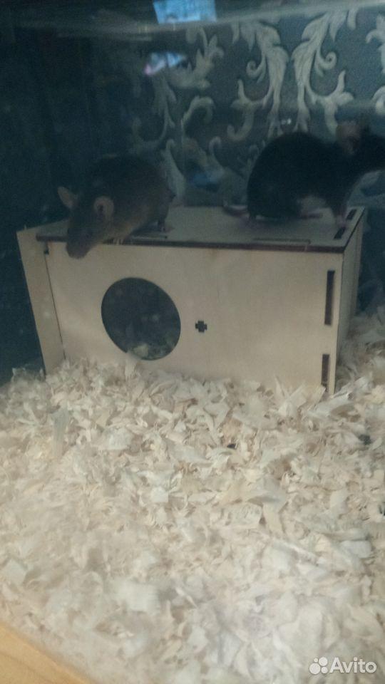 Декоративные мыши  89516004432 купить 3