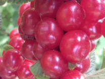 Саженцы Клубники, (земляники), малины, вишни и др