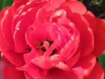 Тюльпаны махровые(пионовидные)