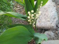Ирисы и другие садовые многолетники