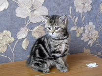 Котята чистокровные шотландские