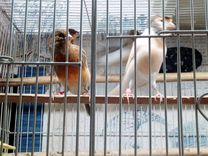 Продаю цветных канареек — Птицы в Москве