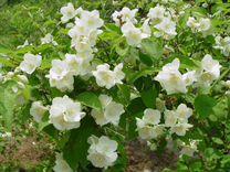 Чубушник - жасмин садовый