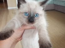 Сиамские котята ищут новый дом