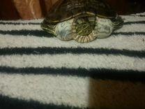 Черепаха земно водная,отдам в хорошие руки бесплат