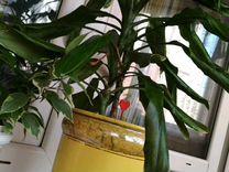 Драцена 2шт с керам.горшком — Растения в Рязани