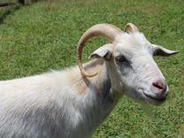 Продаю коз с козлятами