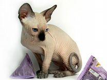 Канадский сфинкс - вундеркинд кошачьего мира