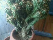 Кактус и Хавортия полосатая