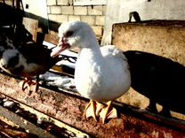 Цесарки, гуси, утки,куры молодки
