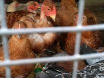Цыплята разных пород