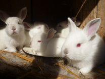 Продаётся крольчиха с крольчатами
