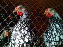 Цыплята-виандот серебро чёрноокаймленный