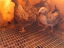 Порода Легбар. Инкубационное яйцо